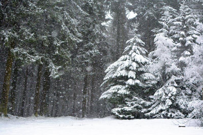 Floresta com as árvores das coníferas durante a tempestade das nevadas fortes no inverno fotos de stock royalty free