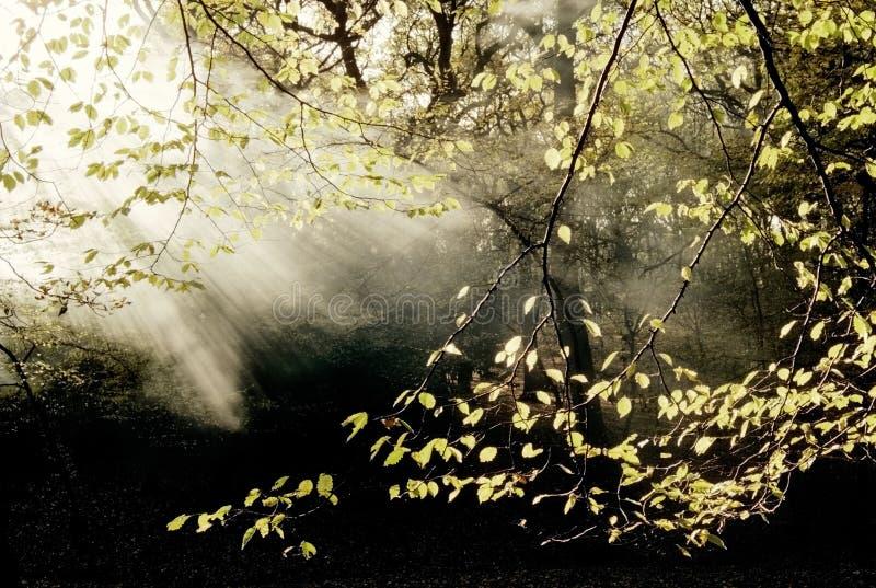 Floresta com névoa imagens de stock royalty free