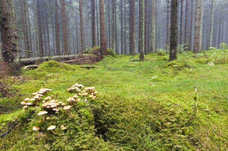 Floresta com névoa da manhã imagens de stock