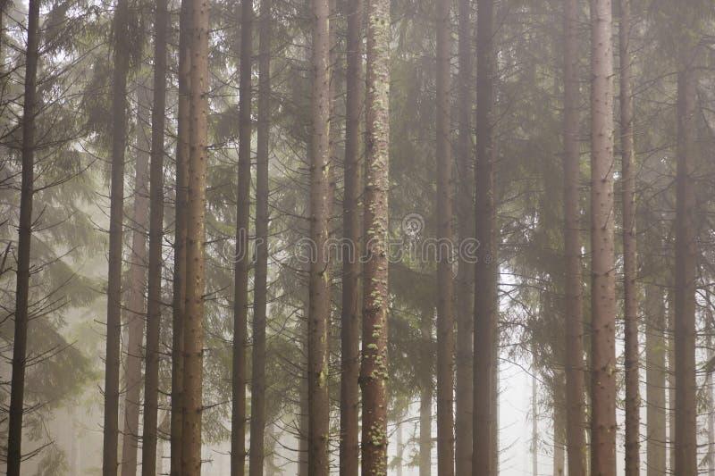 Floresta com névoa da manhã fotos de stock
