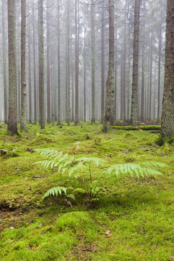Floresta com névoa da manhã imagem de stock royalty free