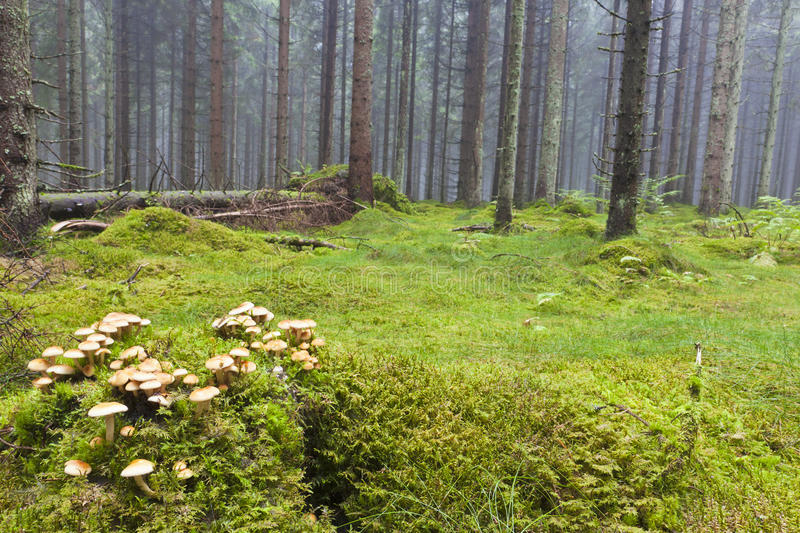 Floresta com névoa da manhã imagem de stock