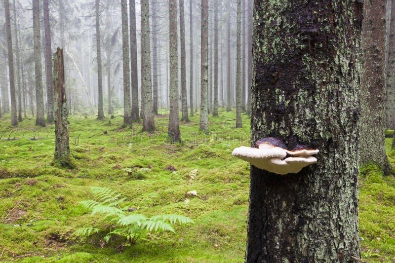 Floresta com névoa da manhã foto de stock royalty free