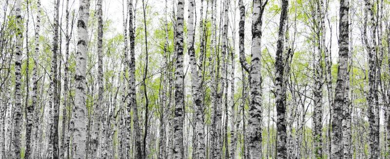Floresta com os troncos de árvores de vidoeiro fotografia de stock royalty free