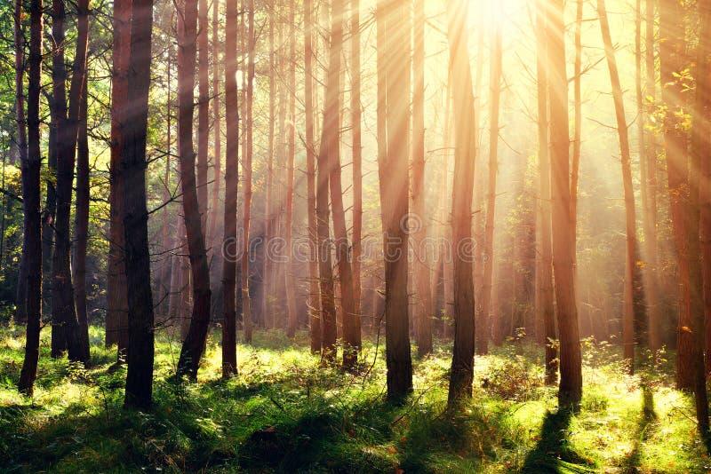 Floresta com raias do sol imagens de stock royalty free