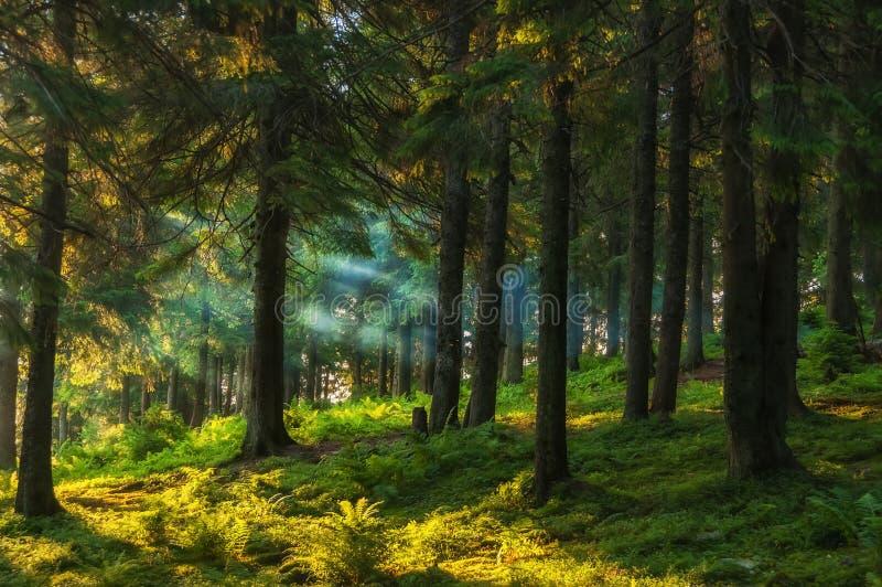 Floresta conífera cedo na manhã imagem de stock