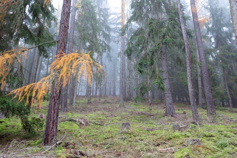Floresta conífera do outono na manhã fotografia de stock