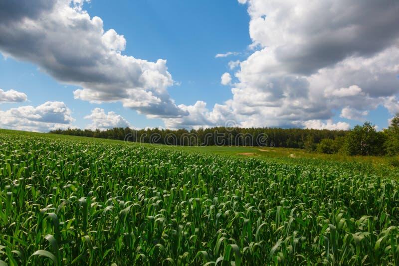 Floresta conífera e estrada rural imagens de stock