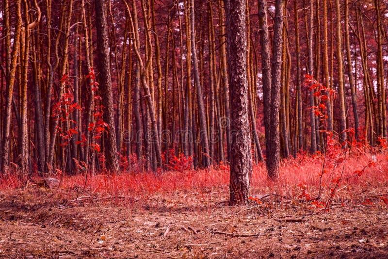 Floresta conífera fantástica do outono repintada no vermelho fotos de stock