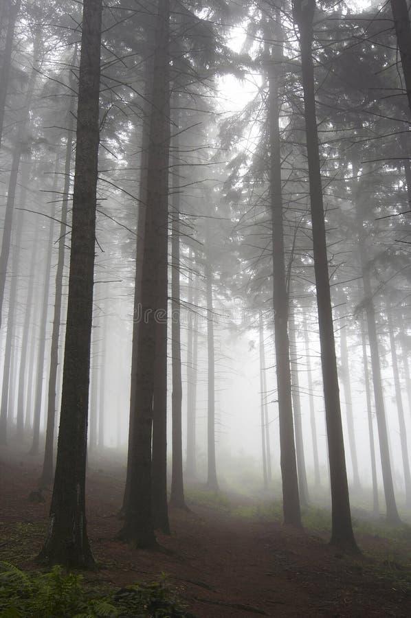 Floresta conífera na névoa foto de stock