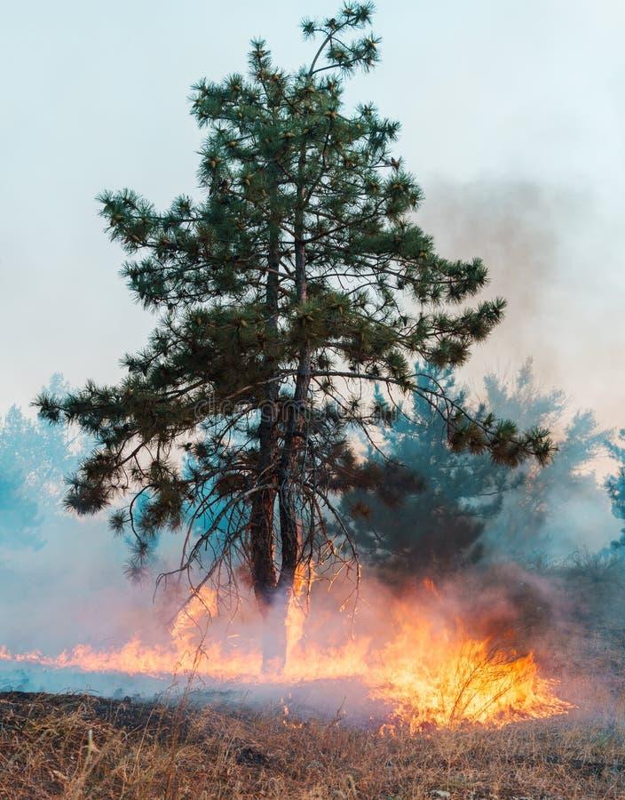 Floresta conífera no fogo Árvore só no fogo foto de stock royalty free