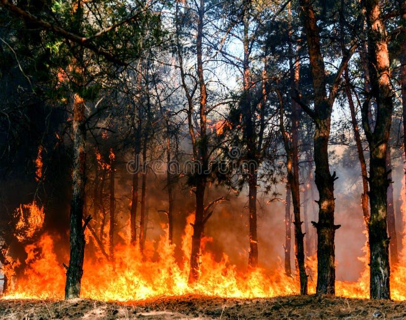 Floresta conífera no fogo fotos de stock royalty free