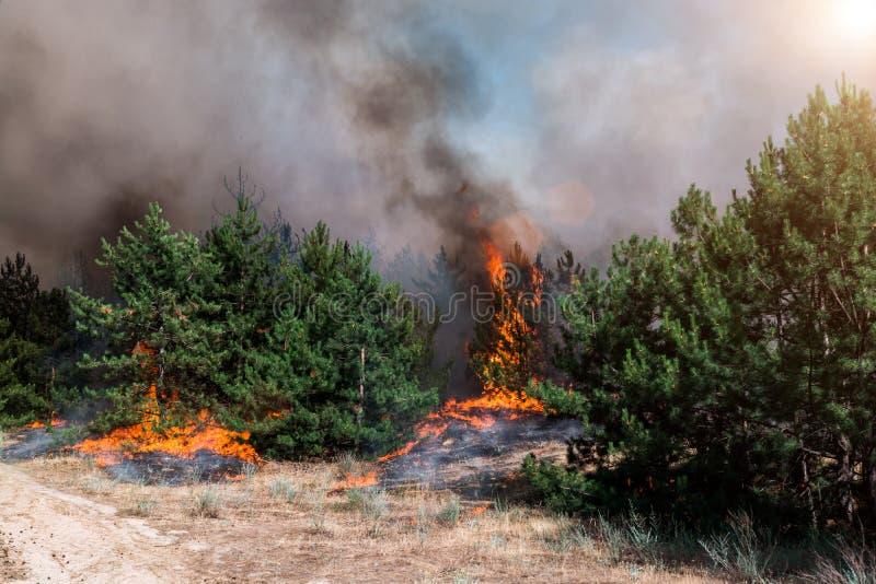 Floresta conífera no fogo imagem de stock royalty free