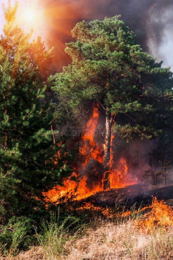 Floresta conífera no fogo foto de stock royalty free
