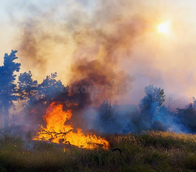 Floresta conífera no fogo foto de stock