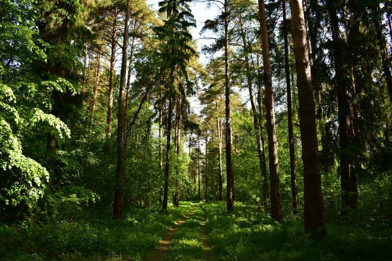 Floresta conífera obscuro dos pinhos e dos abetos em um dia de verão quente, a fuga da grama da estrada imagem de stock royalty free