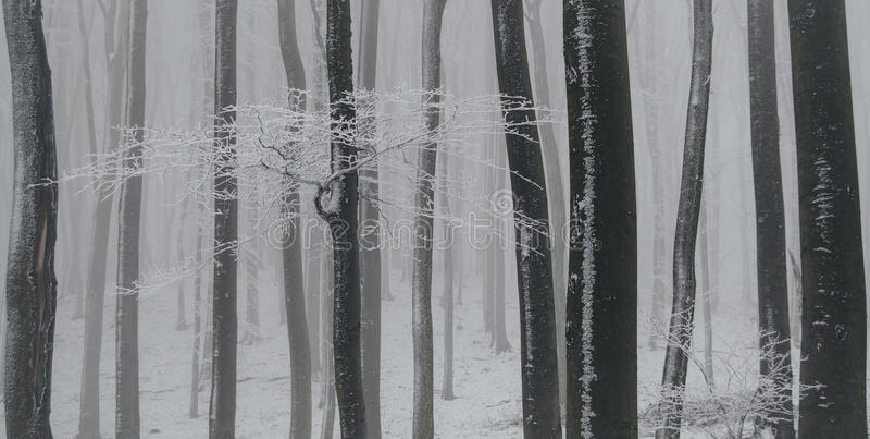 Floresta congelada da faia no inverno com geada e neve branca imagens de stock royalty free