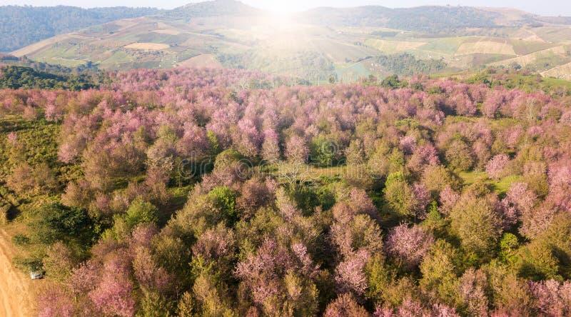 Floresta cor-de-rosa de sakura na montanha perto do aera da agricultura fotografia de stock royalty free