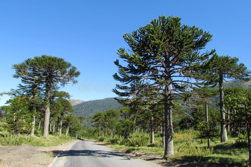 Floresta da árvore da araucária perto da estrada asfaltada fotos de stock royalty free
