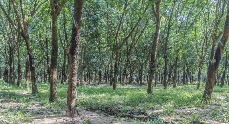 Floresta da árvore da borracha imagem de stock