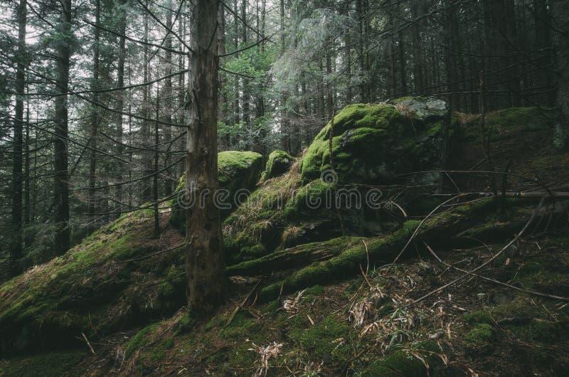 Floresta da árvore de abeto com penhascos e musgo verde fotografia de stock