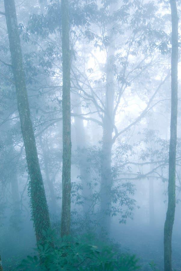 Floresta da árvore de pinho com névoa. imagens de stock