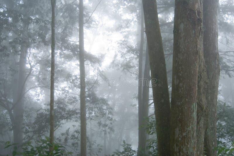 Floresta da árvore de pinho com névoa. foto de stock