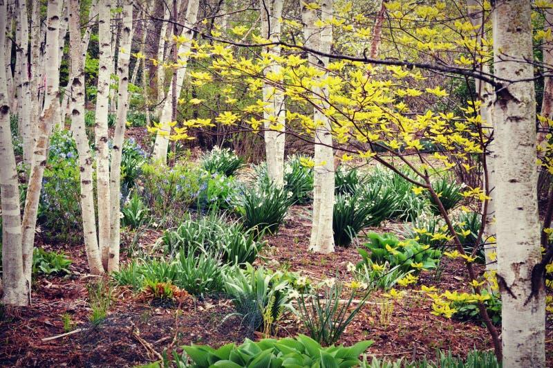 Floresta da árvore de vidoeiro branco, flores da mola fotografia de stock