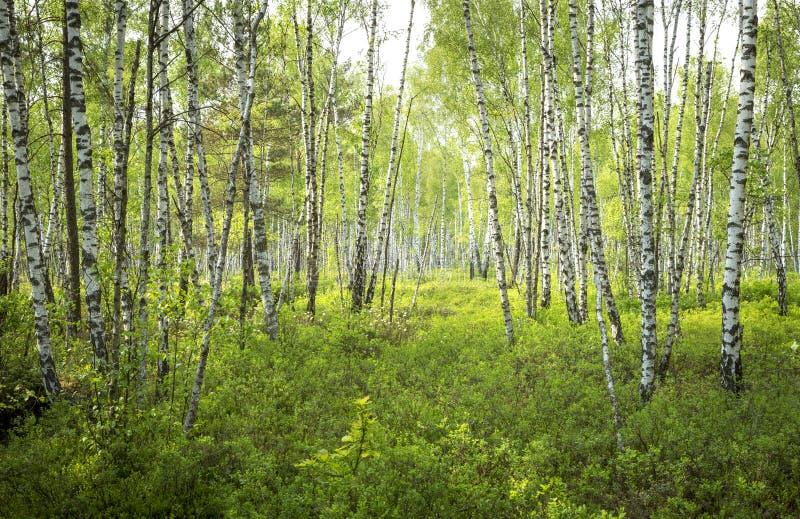 Floresta da árvore de vidoeiro no parque nacional de Biebrza imagens de stock royalty free