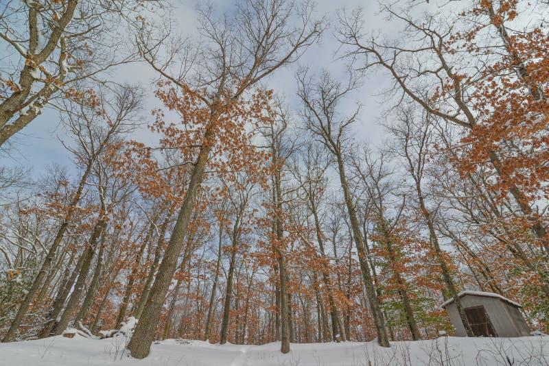 Floresta da árvore decíduo no inverno perto do regulador Knowles State Forest em Wisconsin do norte - terra que olha acima às árv foto de stock royalty free