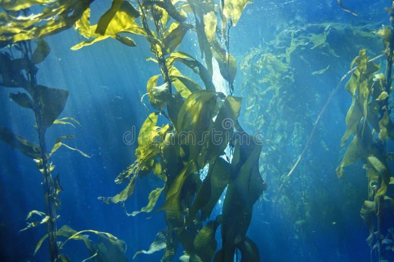 Floresta da alga, aquário da baía de Monterey, Monterey, CA fotografia de stock royalty free