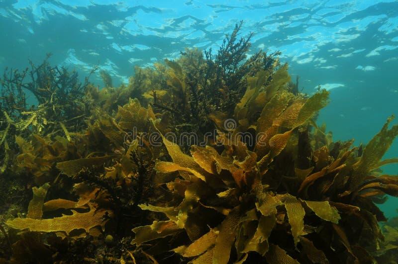 Floresta da alga da água pouco profunda fotos de stock royalty free