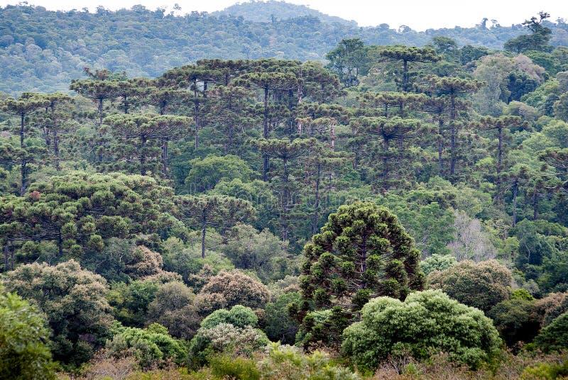 Floresta da arauc?ria nas montanhas imagem de stock