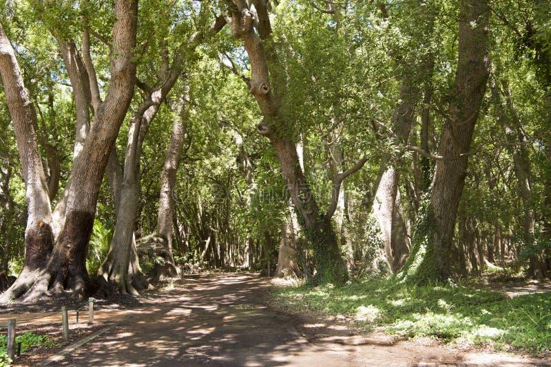 Floresta da cânfora, África do Sul fotos de stock royalty free