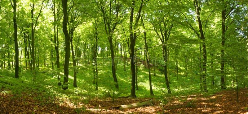 Floresta da faia foto de stock