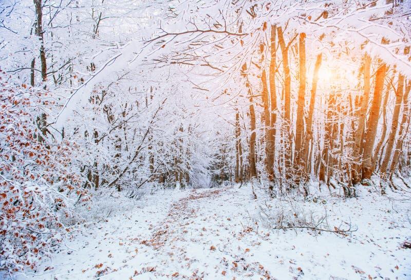 Floresta da faia da montanha de outubro com primeira neve do inverno imagem de stock royalty free