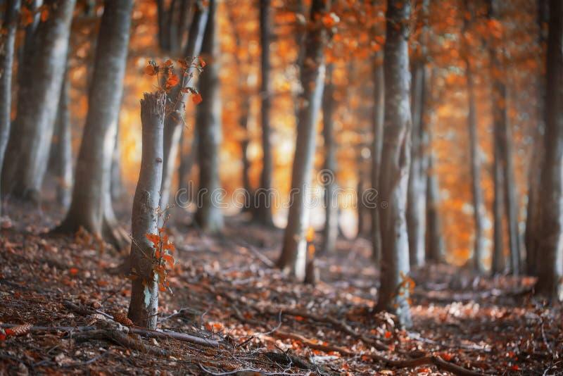 Floresta da faia do outono, cena outonal com as árvores de faia com colorf imagens de stock royalty free