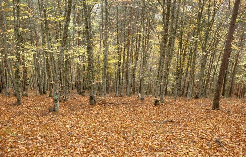 Floresta da faia no outono com tom morno spain fotos de stock