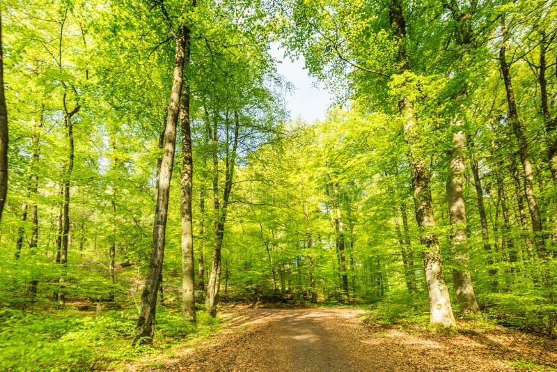 Floresta da faia, Vulkaneifel Gerolstein Alemanha imagens de stock