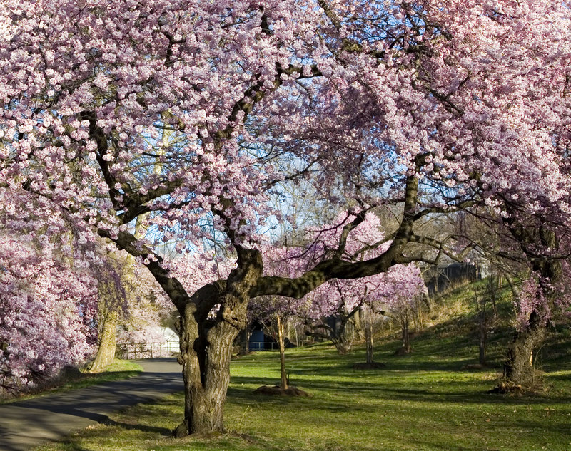 Floresta da flor de cereja fotografia de stock royalty free