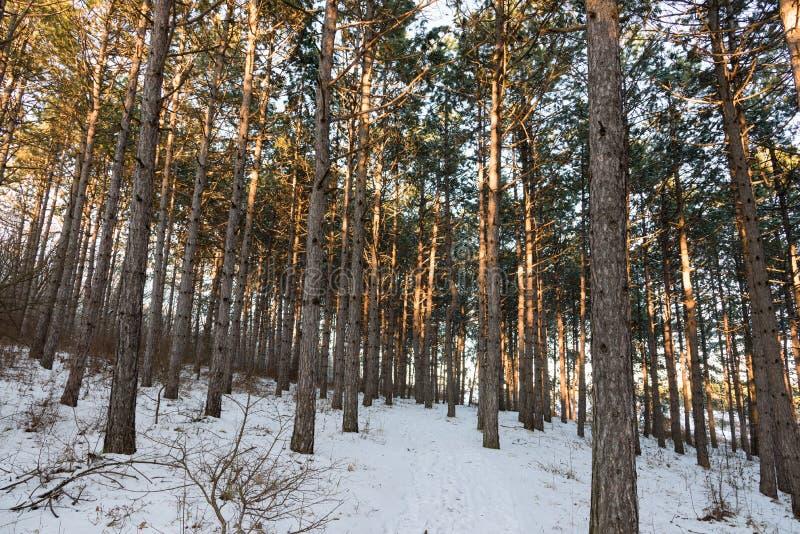 Floresta da luz solar do pinho, inverno imagens de stock