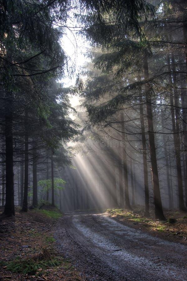 Floresta da manhã na névoa fotografia de stock