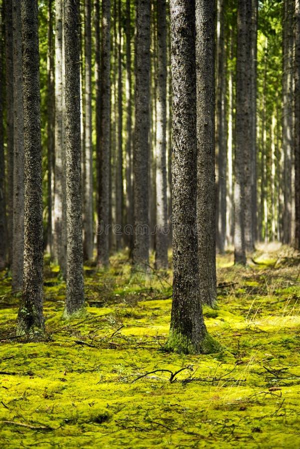 Floresta da mola com troncos de árvore e luz - musgo verde fotografia de stock