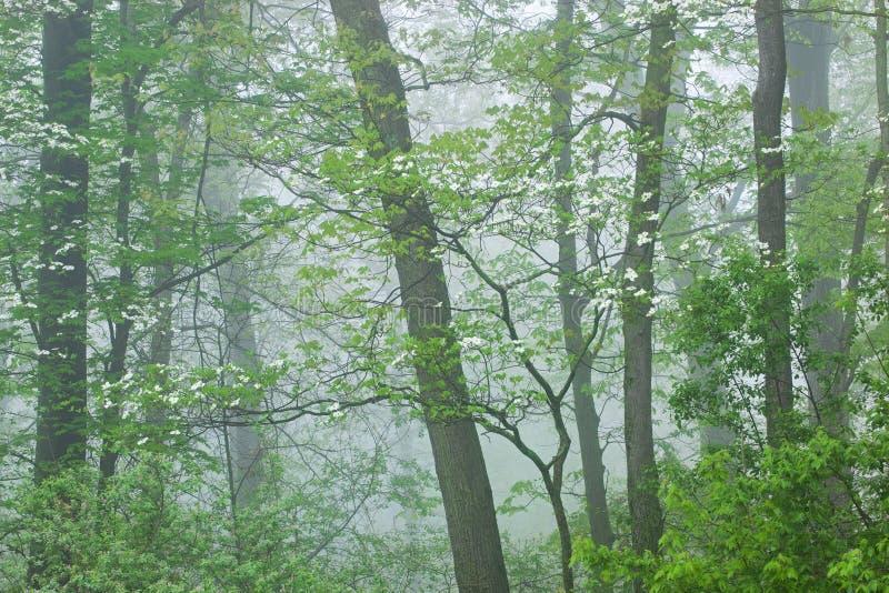 Floresta da mola na névoa com corniso fotos de stock