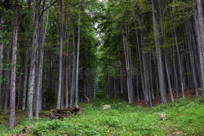 Floresta da montanha de Gurguiatu fotografia de stock