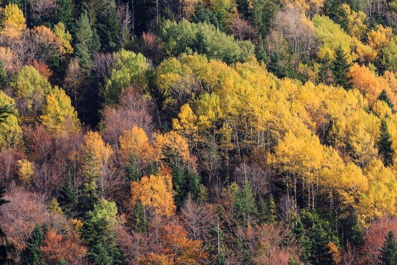 A floresta da montanha em árvores da cor do outono texture o fundo fotos de stock