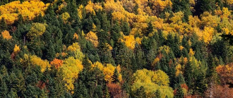 A floresta da montanha em árvores da cor do outono texture o fundo fotografia de stock royalty free