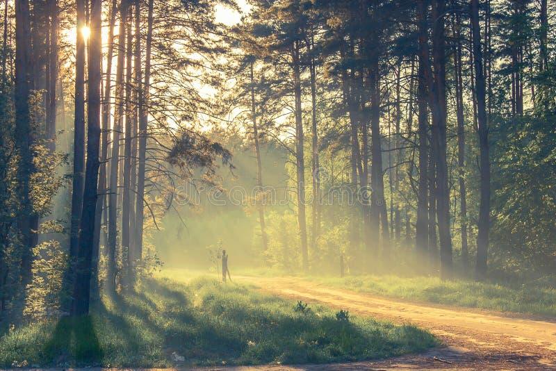 Floresta da noite com sol e luz foto de stock
