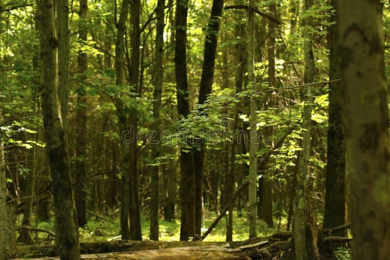 Floresta da noz preta bonita quando ensolarado imagem de stock