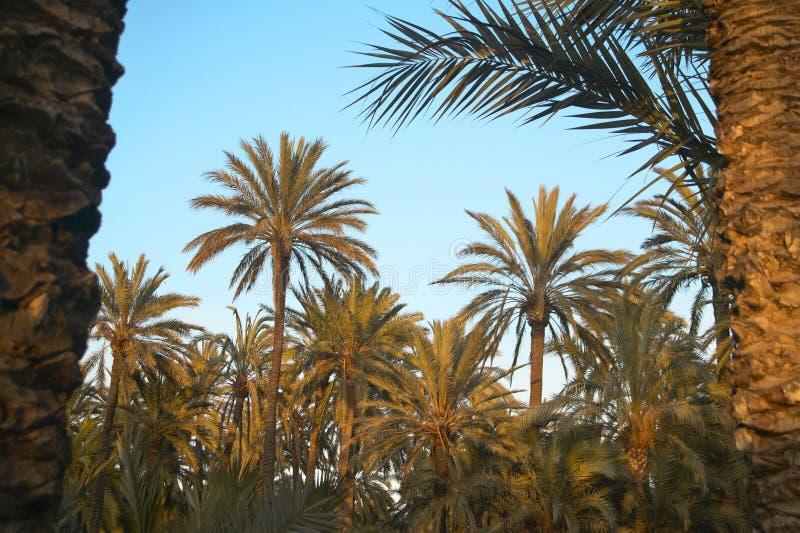 Floresta da palmeira em Elche oasis Alicante, Spain fotografia de stock